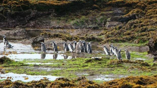 Pinguins teriam sido mortos a pauladas e machadadas no Chile