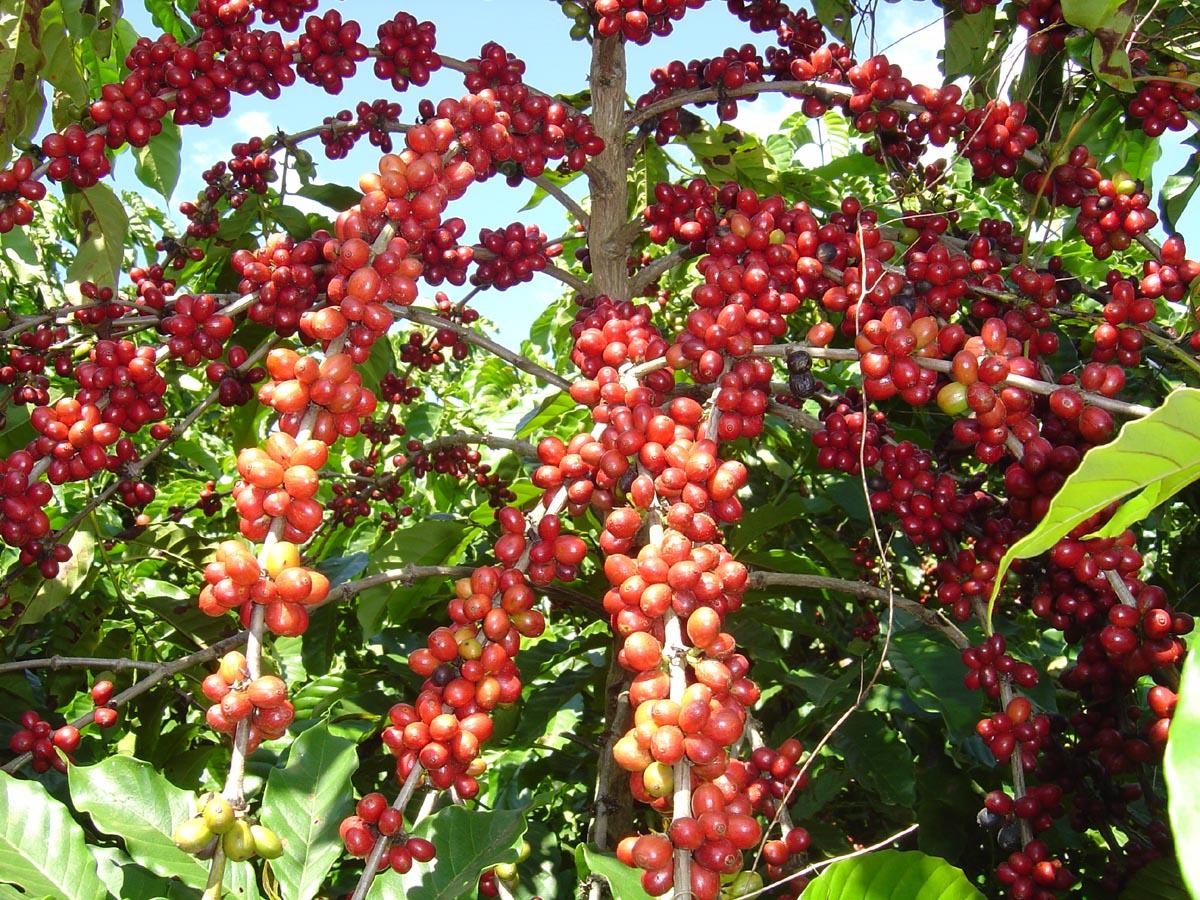 Produção nacional deverá ficar entre 43,65 a 47,51 milhões de sacas de café de 60 quilos, a global em 151,6 milhões de sacas e o Valor Bruto da Produção do café em R$ 22,18 bilhões.
