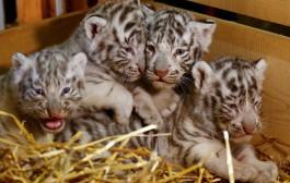Zoológico da Áustria apresenta quatro filhotes de tigre branco