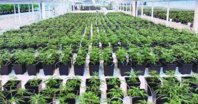 Minas Gerais entra na era da cannabis medicinal