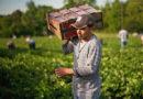 Mais de 139 mil agricultores familiares da BA, PB e de MG vão receber Garantia-Safra