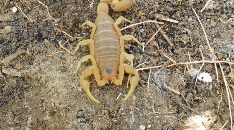 """""""Todos os anos o escorpião amarelo é um problema em Varginha"""", alerta Setor de Zoonoses"""